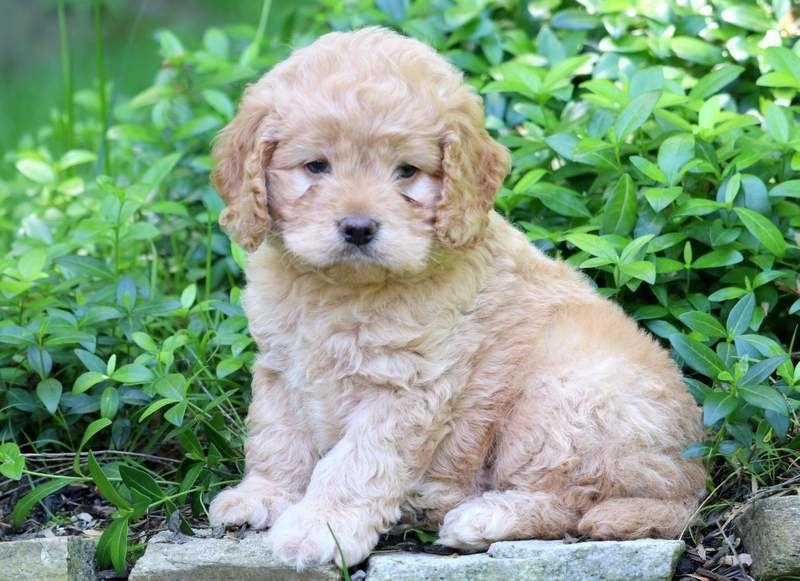 Cockapoo puppy.jpg