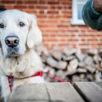 A4 dog friendly pub and dog walk near Maidenhead, Berkshire - Berkshire dog walk and dog friendly pub