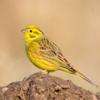 Unspoiled walk with flowers and birdsong, Wiltshire - Yellowhammer.jpg