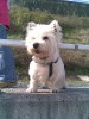 westie~ma - Driving with Dogs