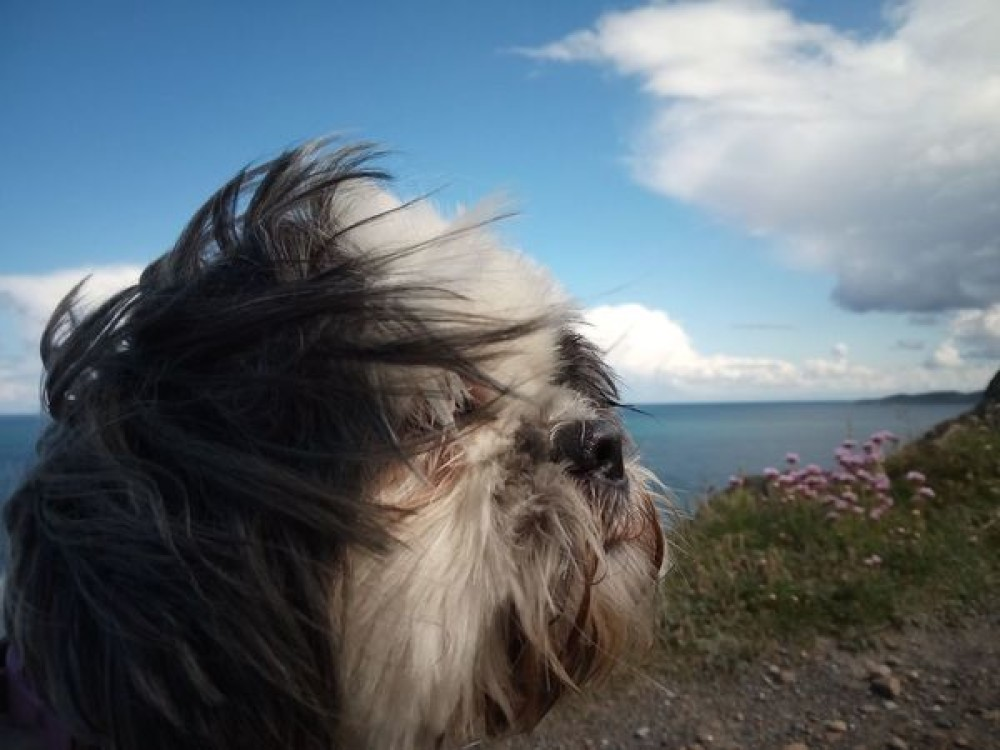 Dog-friendly beach near Georgeham, Devon - Poppy on Baggy Point.jpeg