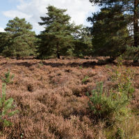 A286 easy heathland dog walk, West Sussex - ambersham common dog walks.jpg