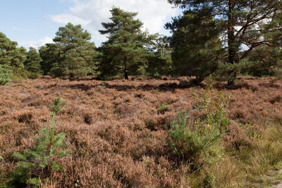 A286 easy heathland dog walk, West Sussex - Driving with Dogs