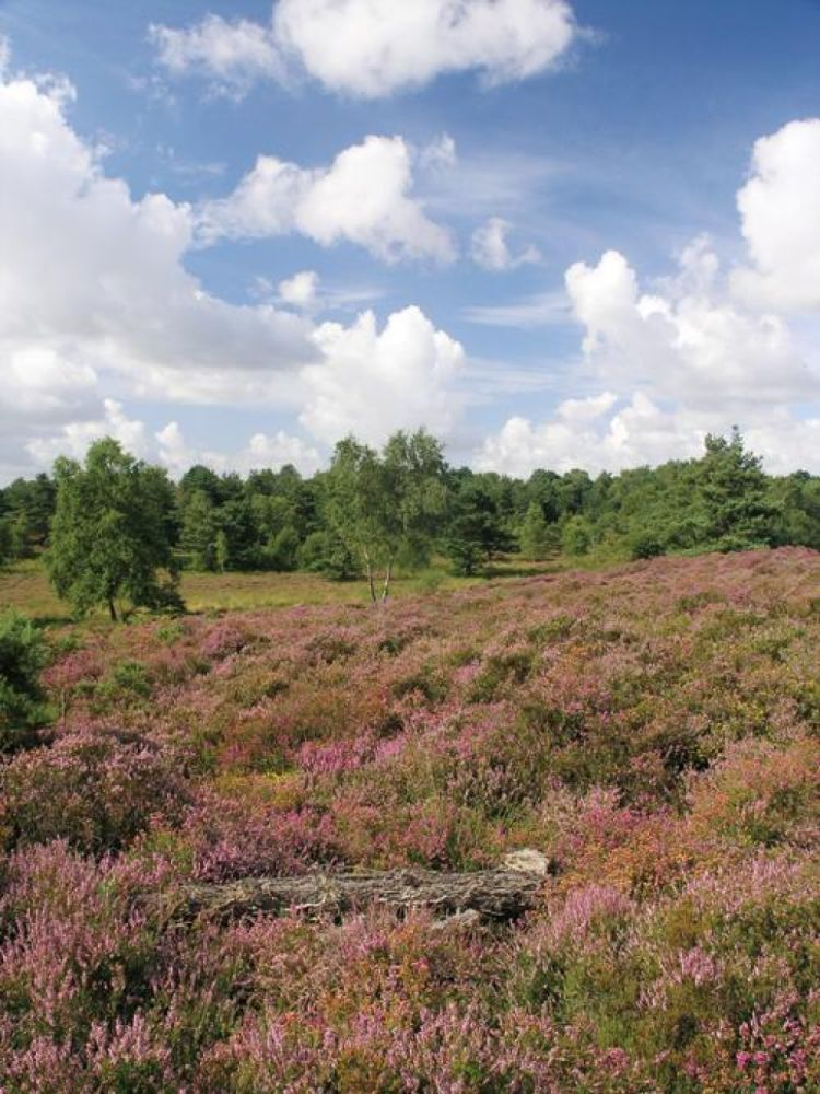 Heathland dog walks, Dorset - Dorset dog walking places.jpg