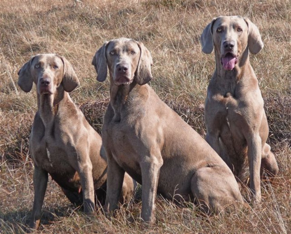 M62 Junction 22 dog walk Saddleworth Moor, Lancashire - Enryb Weimeramers