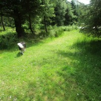 Forest dog walk and no sheep, Cambrian Mountains, Wales - dog-friendly pubs and dog walks in Wales.JPG