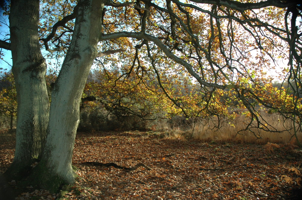 Yateley Common Country Park dog walks, Hampshire - Dog walks in Hampshire