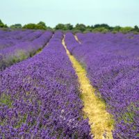 Doggie day out in lavender fields near London, Surrey - Surrey lavender.jpg