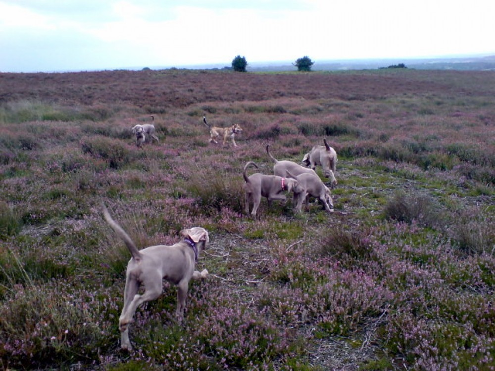 Ashdown Forest dog walks near Duddleswell, East Sussex - Dog walks in Sussex