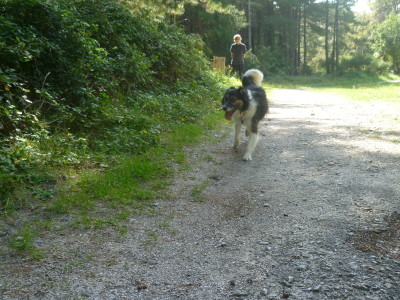 Brighton dog walk in a pine forest, France - Driving with Dogs