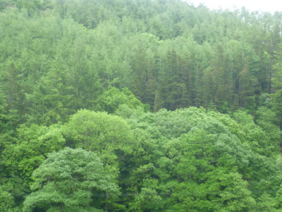 Forest dog walk near Rhayader, Wales - Driving with Dogs