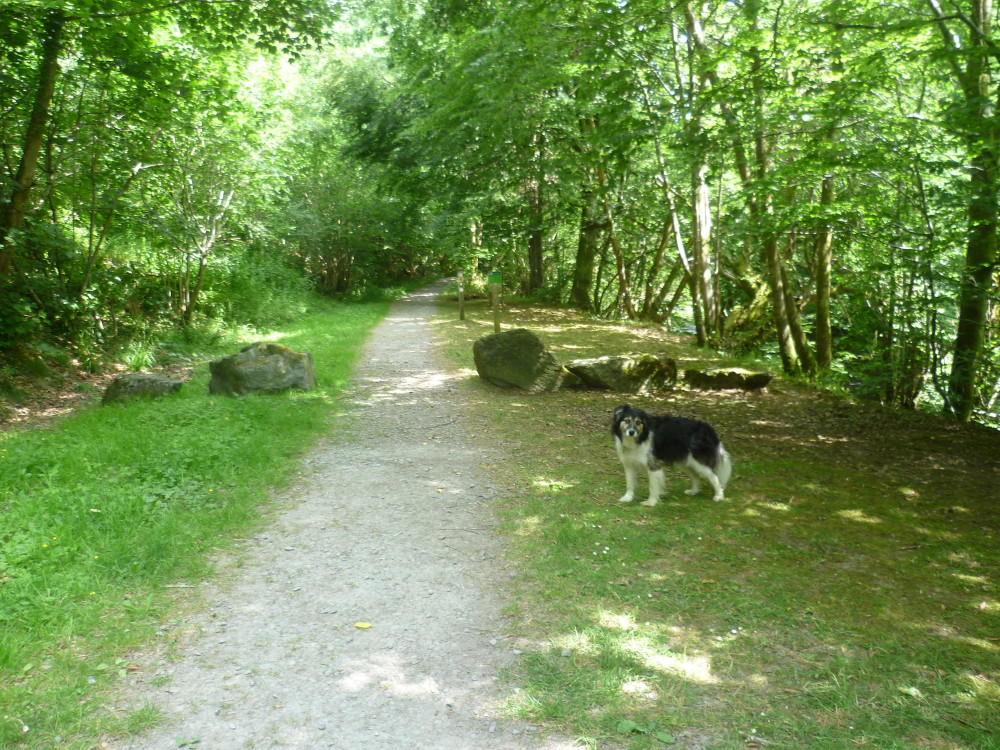 Dog walk in the Dyfnant Forest, Wales - Dog walks in Wales