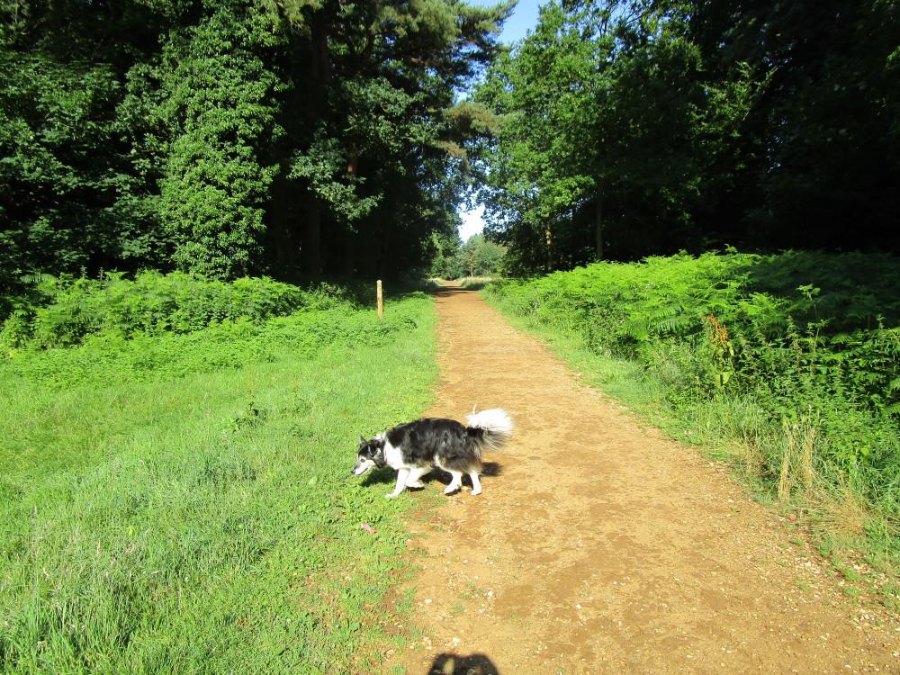 Hockham Heath dog walk, Norfolk - Dog walks in Norfolk