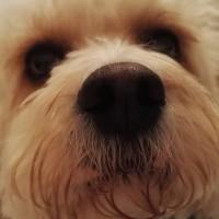 TeddyCavachon - Driving with Dogs
