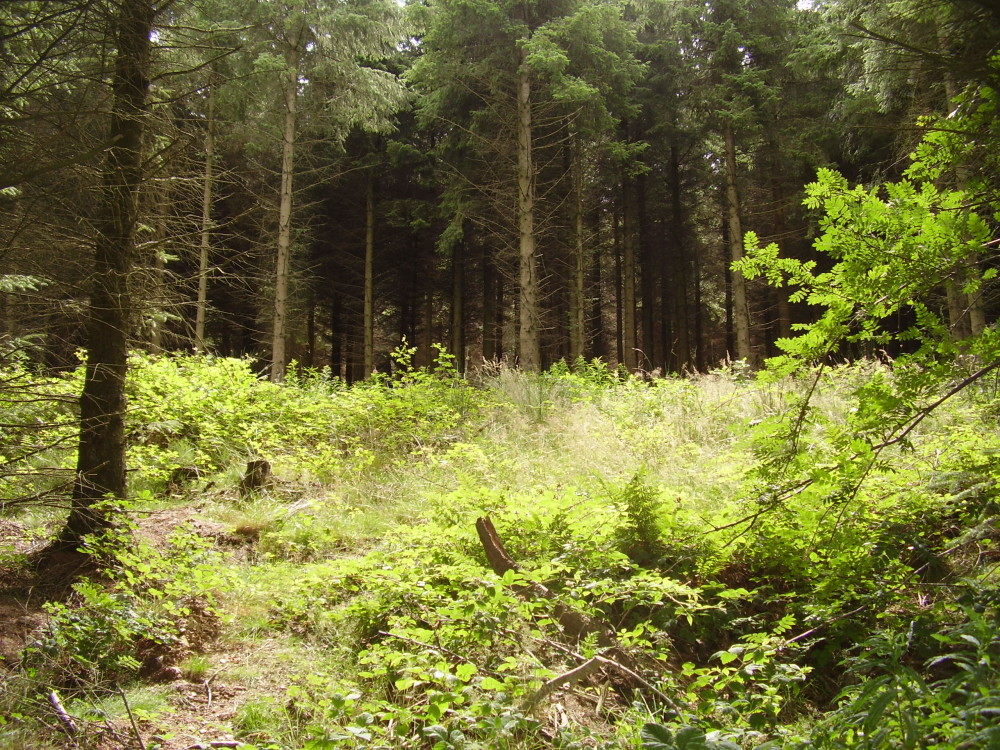 Forest dog walk near Wrexham, Clwyd, Wales - Dog walks in Wales