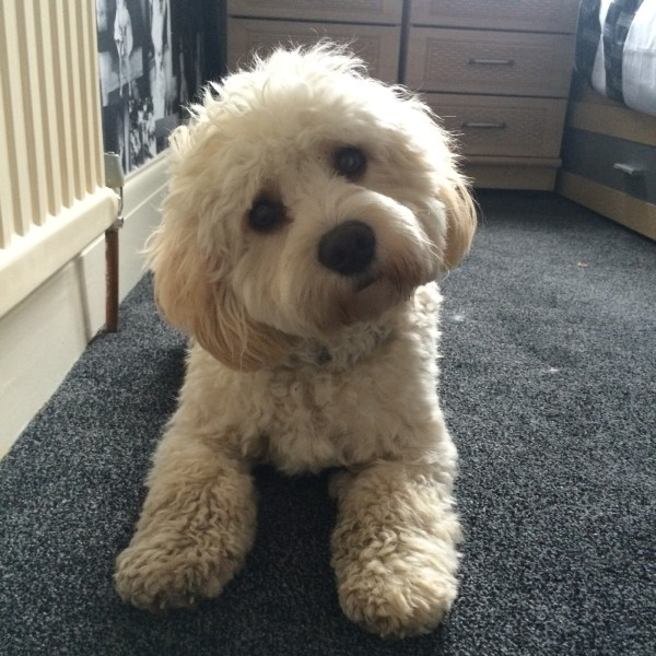 Barney just looking adorable, needs a groom