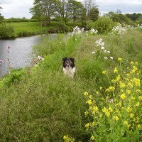 Roecliffe River Walk and dog-friendly pub, Yorkshire