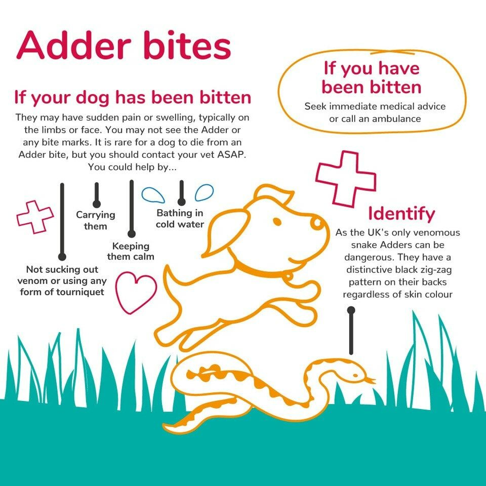 What-to-do-if-your-dog-has-been-bitten-by-an-adder.jpg