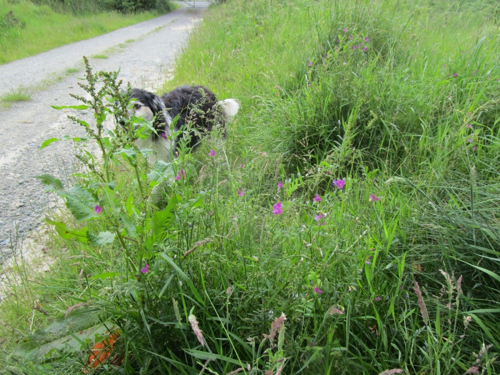 Woodland dog walk and no sheep, Wales - dog-friendly pubs and dog walks in Wales.JPG