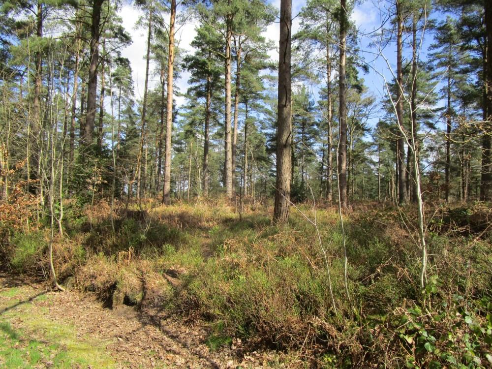 Hurt forest dog walk near Farley Heath, Surrey - Surrey dog walks.JPG