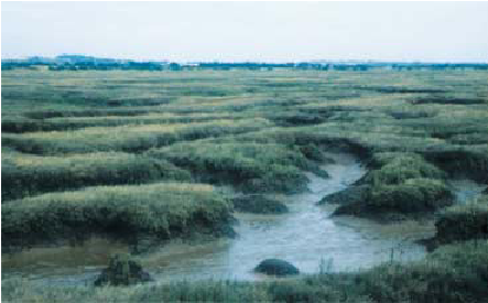 Nature reserve marsh walk with the dog and tea rooms, Essex - Salt marsh next to footpath Essex.png