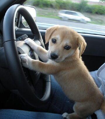 puppy taking the wheel.jpg