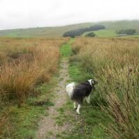 Garsdale dog walk and dog friendly pub, Cumbria - Dog walks in Cumbria