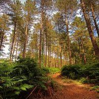 Forest dog walk near Bournemouth, Dorset - Forest dog walk in Dorset.jpg