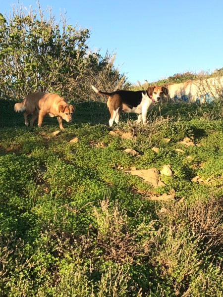 Exploring the scrubland for interesting smells!