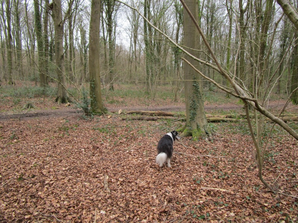 Eartham Woods dog walk near Chichester, West Sussex - Sussex dog-friendly pubs with dog walks.JPG